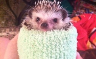 Dressed hedgehog