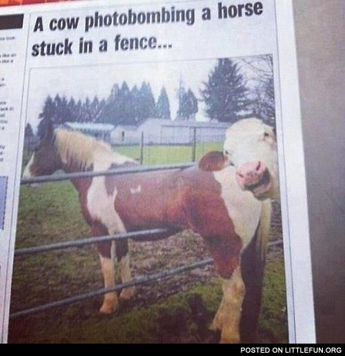 A cow photobombing a horse stuck in a fence.