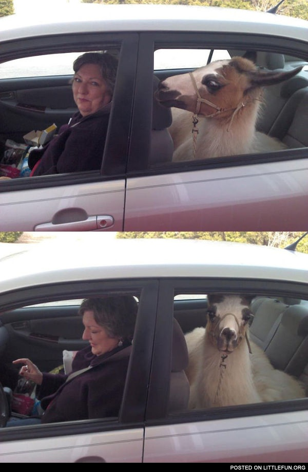 Lama in the car