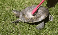 The turtle and toothbrush