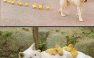 Dog adopts ducklings