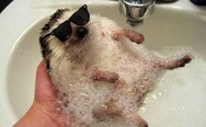 Hedgehog in the bath