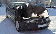 Cow on the car