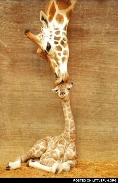 Giraffe mother love