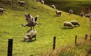 Sheep jumping