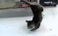Cat with paralyzed hind legs learned to walk on their front paws