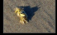Crab by day, batman by night