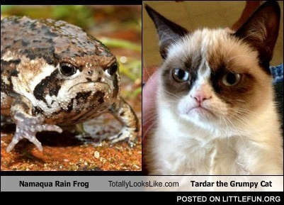 Littlefun Grumpy Cat Vs Namaqua Rain Frog