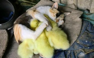 Baby ducks and cat