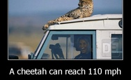 A cheetah can reach 110 mph