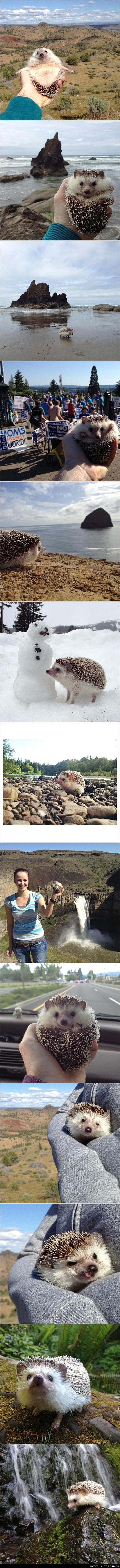 Biddy, the traveling hedgehog