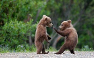 Baby bears fight