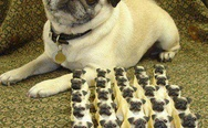 Little pug army