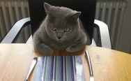 Cat at the table