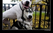 Pitbull and husky, best buddies