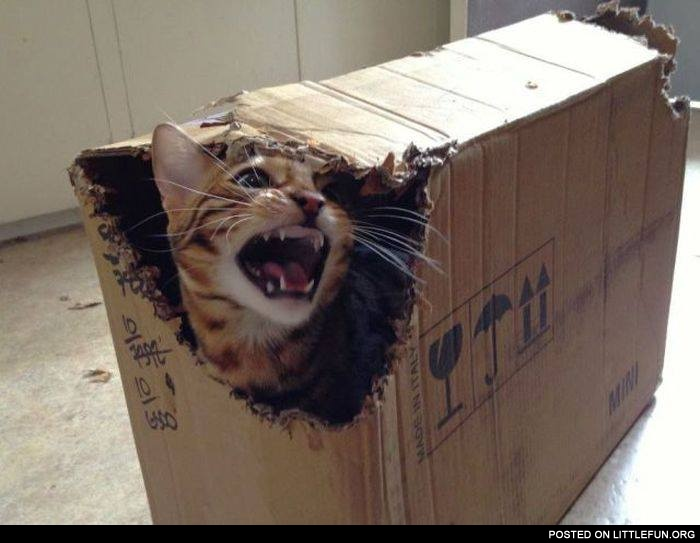 Angry cat in the box