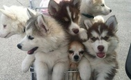 Basket of huskies
