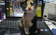 Kitten on the laptop