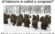 A large group of baboons is called a congress
