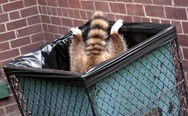 Raccoon in a garbage can