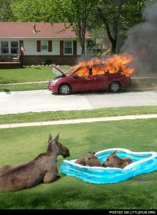 Some moose just like to watch the world burn