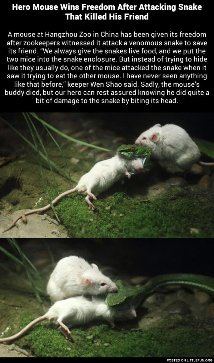 Mouse attacks snake to save pal