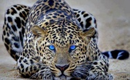 Leopard. Dat eyes.