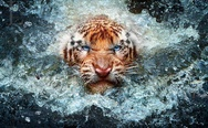Angry tiger in water. Go ahead, push me one more time.