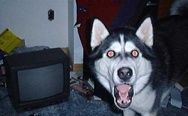 Shocked husky. What has been seen cannot be unseen.