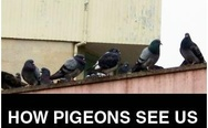 How pigeons see us