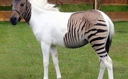 Zebra horse. Glitch in the Matrix.