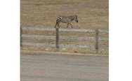 I pass a zebra every time I drive through Maryland