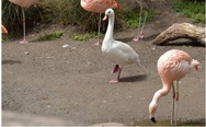 Goose trying to act like a flamingo