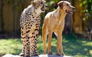 Dog and cheetah friends