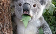 Eucalyptus leaves cause hallucinations