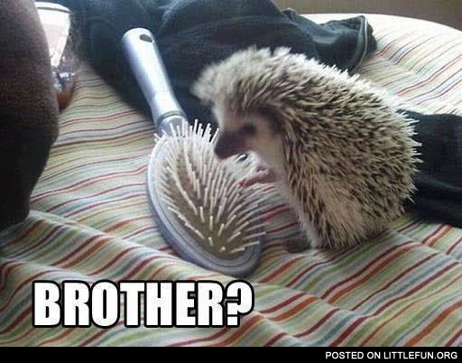 Hedgehog and the comb. Brother?