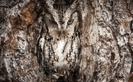 Owl in the tree. Camouflage level: Nature