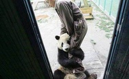 A young panda traumatized by an earthquake wants to be very close to her caretaker