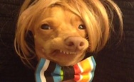 Ugly dog in a wig