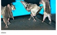 If you flip a photo of bats hanging upside down, they look like they are having a wicked dance-off