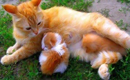 Orange mama cat and her kittens