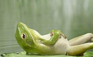 Frog lying on the back