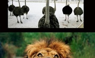 Ostriches sometimes kill lions instead of trying to outrun them
