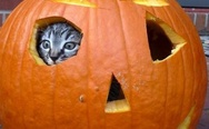 Cat in the pumpkin