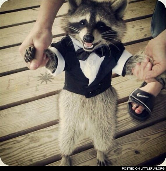 Racoon in a suit