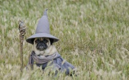 A pug dressed as Gandalf