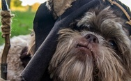 Halloween costume for dog, Ewok