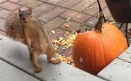 Squirrel and pumpkin
