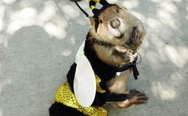 Beaver in a bee costume