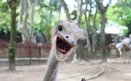 Funny ostrich